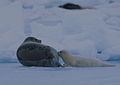 Harp seal mother and pup.jpg