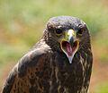 Harris Hawk 6c (6944093545).jpg