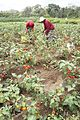 Harvesting for Solanum aethiopicum seed extraction.JPG