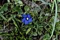 Hautes-Alpes Arvieux Col Du Lauzon Fleurs Gentiane Bleue Cinq Petales 071986 - panoramio (1).jpg
