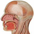Head lateral mouth detail.jpg