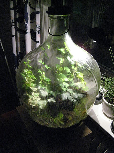 File:Hedera helix in a sealed carboy.jpg