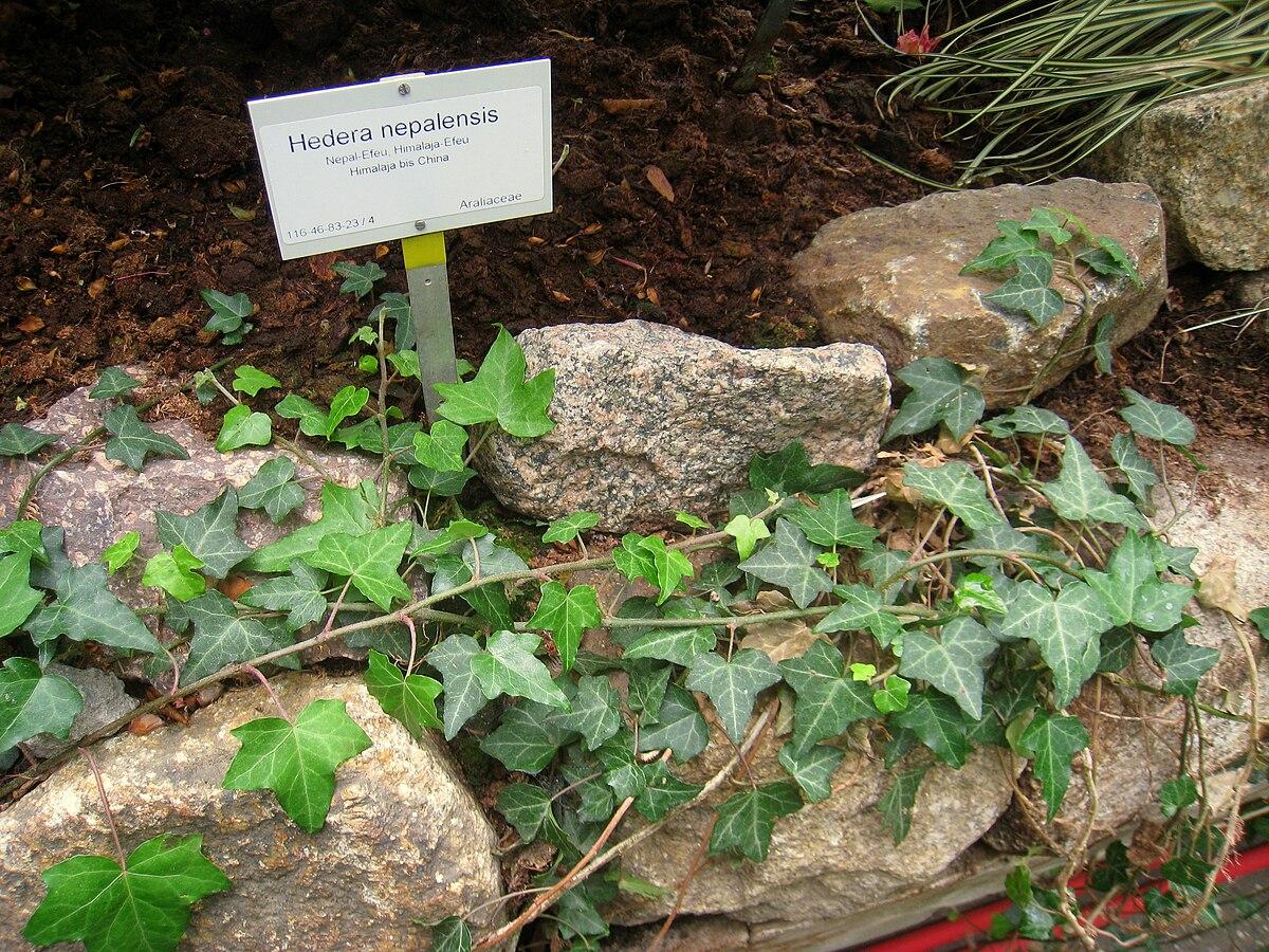 Hedera nepalensis - Wikipedia