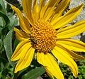 Helianthella castanea 4.jpg