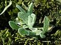 Helichrysum arenarium 2019-04-05 9212.jpg
