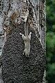 Heliosciurus gambianus in Gambia 0002.jpg