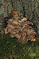 Hen of the Woods - Grifola frondosa (37820669824).jpg