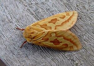 Ghost moth - Image: Hepialus humuli f
