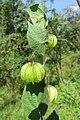 Herissantia crispa - Bladder Mallow at Theni (6).jpg
