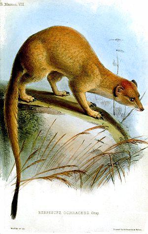 Somalian slender mongoose - Image: Herpestes Ochraceus Wolf