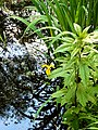 Hessen, NSG im Mörsbacher Grund, Wasserlilie.jpg