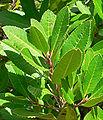 Heteromeles arbutifolia 2.jpg