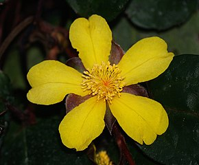 Description de l'image Hibbertia.dentata.flower.jpg.