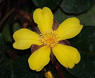 <i>Hibbertia dentata</i> species of plant