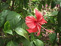 Hibiscus flower and leaves1.JPG