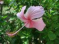 Hibiscus okinawa 2006.jpg