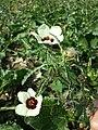 Hibiscus trionum sl78.jpg