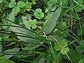 Hieracium laevigatum stem (04).jpg