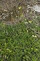 Hieracium pilosella bray-sur-somme 80 25062007 6.jpg