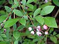 Highbush Blueberry - Flickr - treegrow.jpg