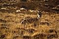 Himalayan Ibex, Spiti Valley.jpg