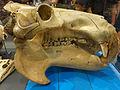 Hippopotamus Skull.jpg