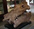 Hippopotamus major Montevarchi 02.jpg