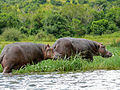 Hippos (Hippopotamus amphibius) leaving the water (18162136521).jpg