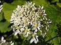 Hogweed (Heracleum sphondylium) (5775532363).jpg