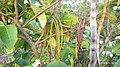 Holarrhena pubescens fruits.jpg