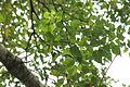 Homalanthus populifolius.JPG