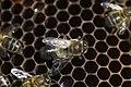 Honeybee drone varroa 16.jpg