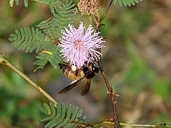 Honeybee on Mimosa pudica at Kadavoor.jpg