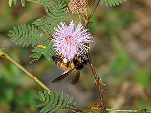 Apis dorsata - On Mimosa pudica