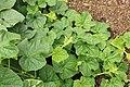 Horngurke - Kiwano - Cucumis metuliferus im Garten, kletternd 04 ies.jpg
