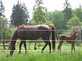 Horse and foal whidbey island.JPG