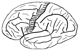 Linguistic intelligence - Motor cortex with muscle localization shown