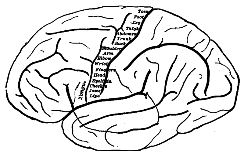 File:Human motor cortex topography.png - Wikimedia Commons