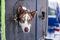 Hund (8435553705).jpg