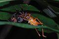 Huntsman Spider (Sparassidae) with cricket prey (8689693698).jpg