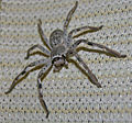 Huntsman spider 01.jpg