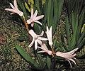 Hyacinthus orientalis - common hyacinth (12 April 2015, Newark Ohio, USA) 1 (16934728207).jpg