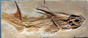 Wessex Formation - Image: Hybodus fraasi (fossil)