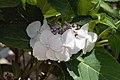 Hydrangea macrophylla Tokyo Delight 5zz.jpg