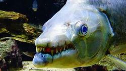 Gros plan sur la gueule d'un poisson-chien