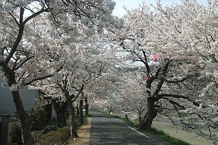岡山県井原市の小田川沿いにある満開の桜並木