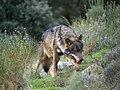 Iberian Wolf AdF a01.jpg