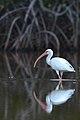 Ibis Blanco, White Ibis, Eudocimus albus (16032047180).jpg