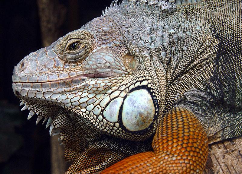 File:Iguana Iguana.jpg