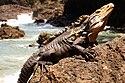 Iguana Manual Antonio